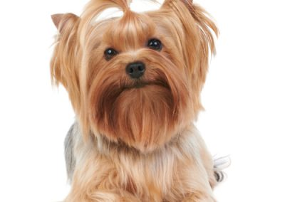 Yorkie Yorkshire Terrier just groomed