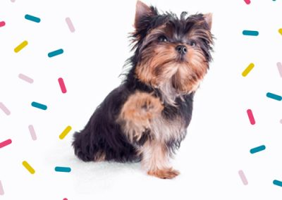 Yorkie Yorkshire Terrier pawing at confetti