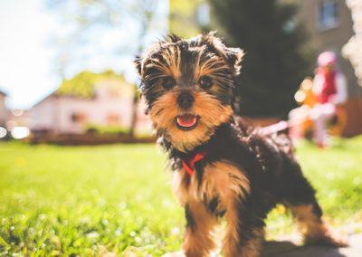 Yorkie Yorkshire Terrier having a nice walk