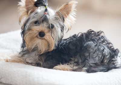 Yorkie Yorkshire Terrier sitting pretty on a white blanket