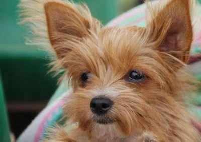 Yorkie Yorkshire Terrier