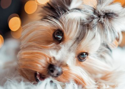 Yorkie Yorkshire Terrier looking too adorable