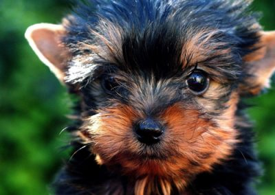 Yorkie Yorkshire Terrier saucy puppy