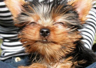 Yorkie Yorkshire Terrier looks like she is really smiling