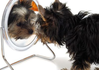 Yorkie Yorkshire Terrier looking in the mirror