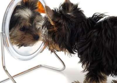 Yorkie Yorkshire Terrier looking in the mirror