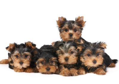 Yorkie Yorkshire Terrier puppies five in all