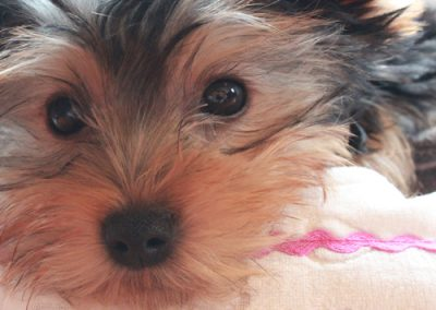 Yorkie Yorkshire Terrier up close and personal