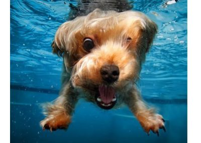 Yorkie Yorkshire Terrier underwater shot