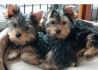 Yorkie Yorkshire Terrier pair of twins looking at us