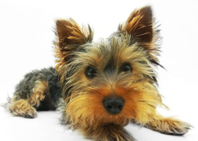 Yorkie Yorkshire Terrier with a funny orange face