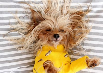Yorkshire Terrier on pillow with very messy hair
