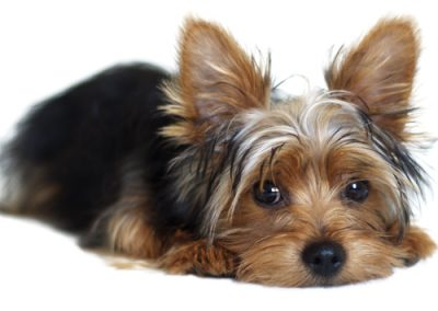Yorkie Yorkshire Terrier lying down looking sweet