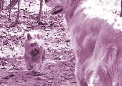 Yorkie Yorkshire Terrier with a golden retriever friend