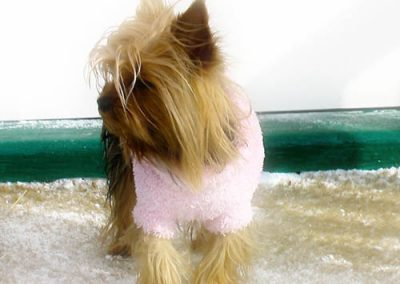 Yorkie Yorkshire Terrier in a pink sweater going out the door
