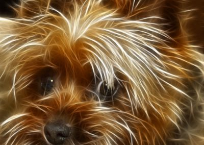 Yorkie Yorkshire Terrier with very messy hair