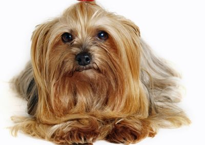 Yorkie Yorkshire Terrier on a white background