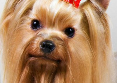 Yorkie Yorkshire Terrier with red bow in his hair