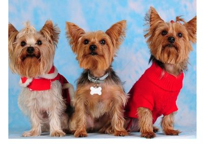 Yorkie Yorkshire Terrier three of them in a row