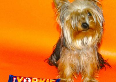Yorkie Yorkshire Terrier with a Yorkie chocolate bar