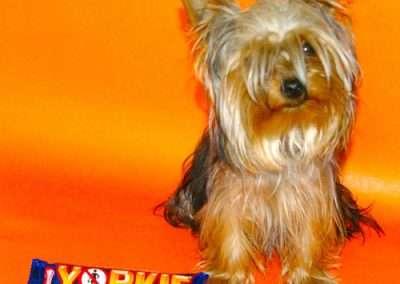 Yorkie Yorkshire Terrier 8