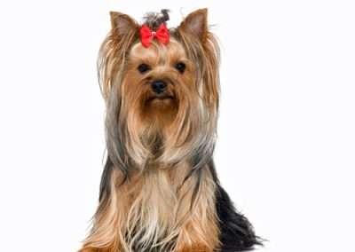 Yorkie Yorkshire Terrier 9