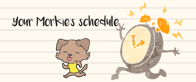 Graphic drawing that is saying, your Morkie's schedule should be consistent.