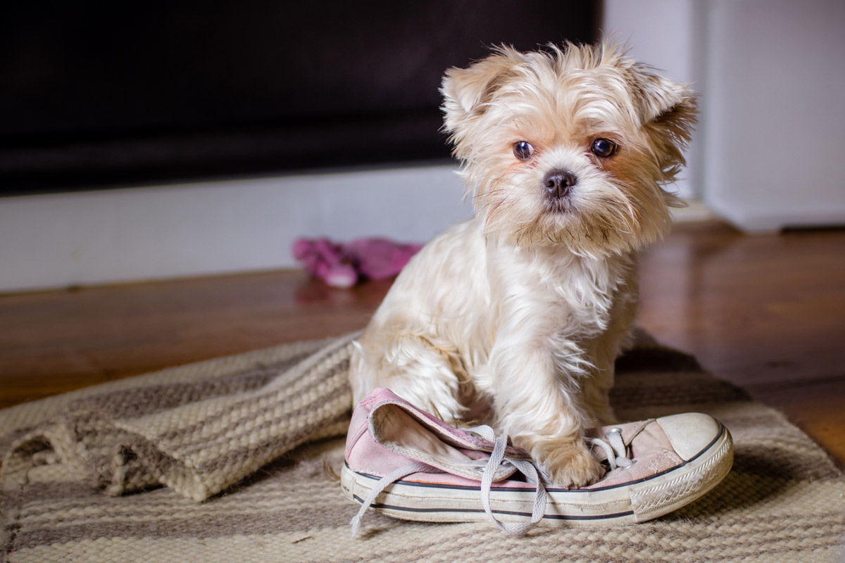 Morkie temperament is smart, loyal and affectionate