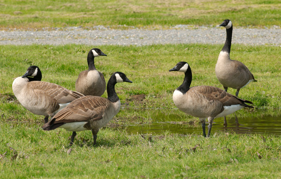 Canada Geese on grass