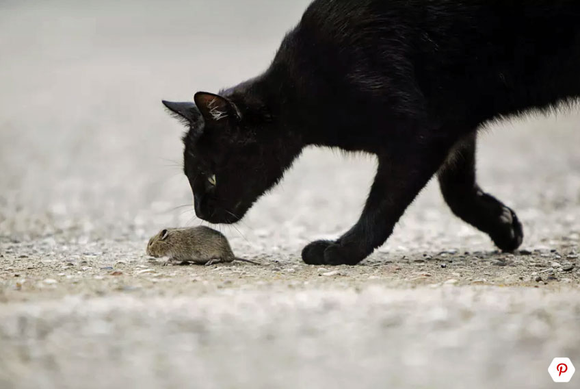 cat hunting for a mouse