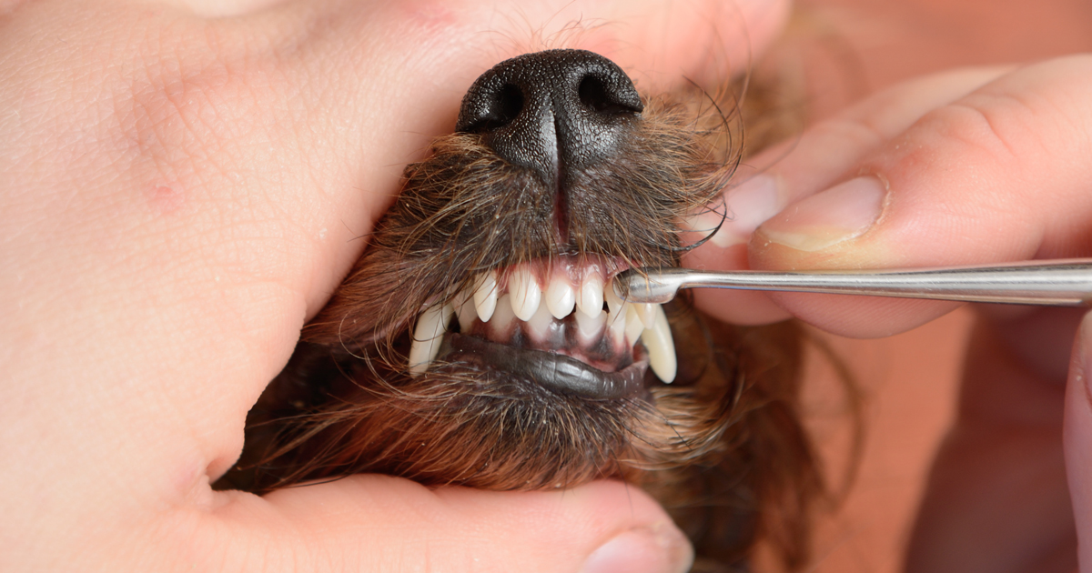 dog dental care and scaling teeth