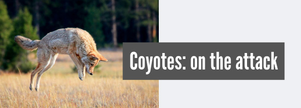 coyotes on the attack looking for prey