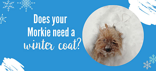 Does your Morkie need a winter dog coat?