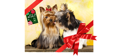 Morkie dog kissing a Yorkshire Terrier, shows that dogs are the greatest gift.