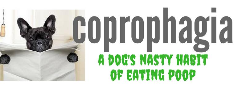 Why does my Morkie dog eat goose poop?