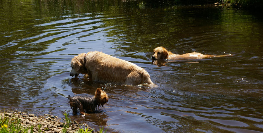 dogs swimming in creek