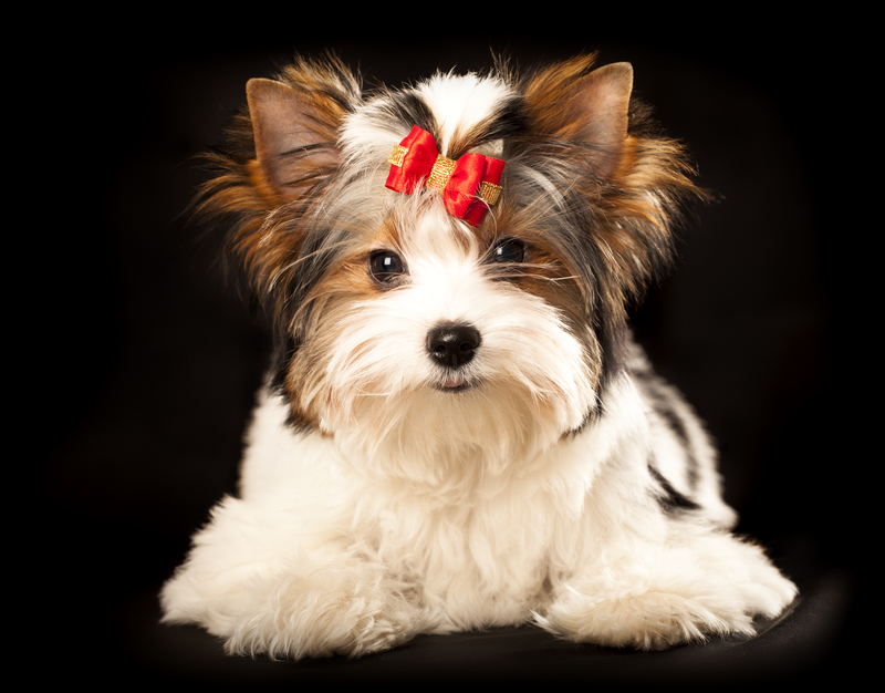 All about Morkies like this cutie