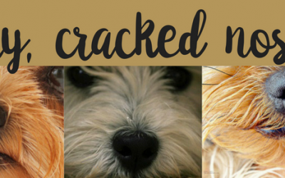 Is your Morkie dog's nose dry and cracked?