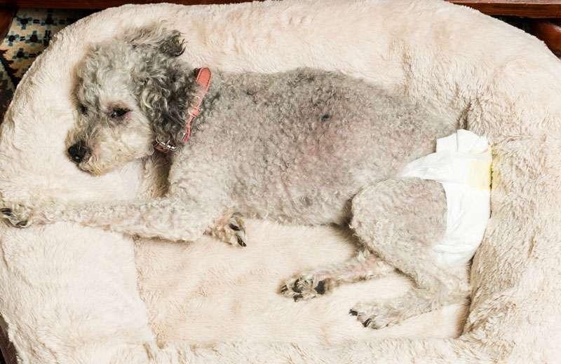 female dog in heat
