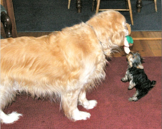 large golden playing with tiny yorkie puppy