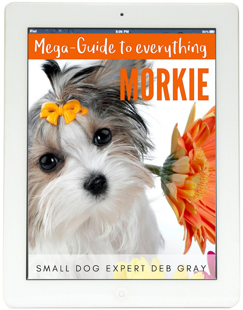 Morkie Mega Guide to everything Morkie