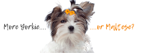 The Morkie Temperament: What to expect