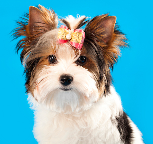 Morkies Smart Affectionate Small Dogs That Don T Shed About Morkies
