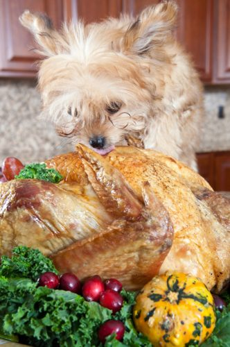 little morkie eating the family turkey