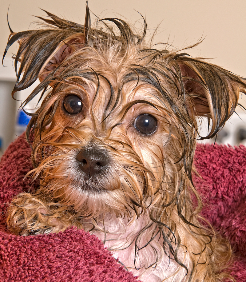 Morkie having a bath is quite wet after.