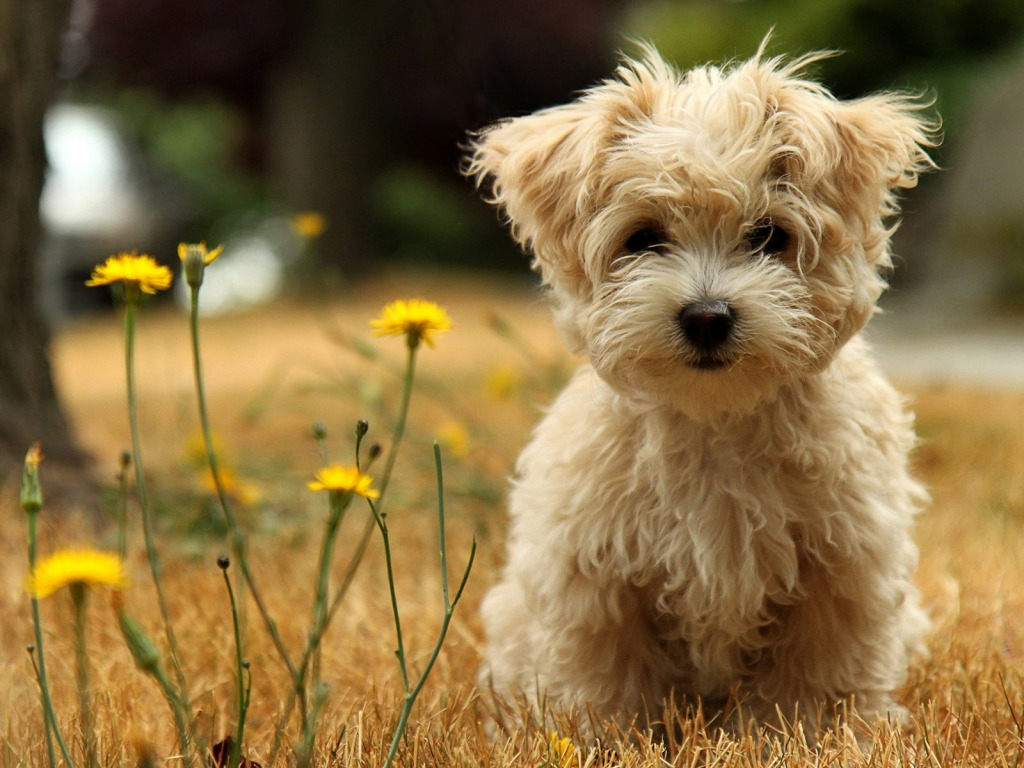 morkie in field with yellow flowers