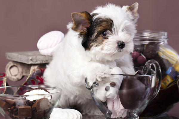 Adopt a Morkie if you can