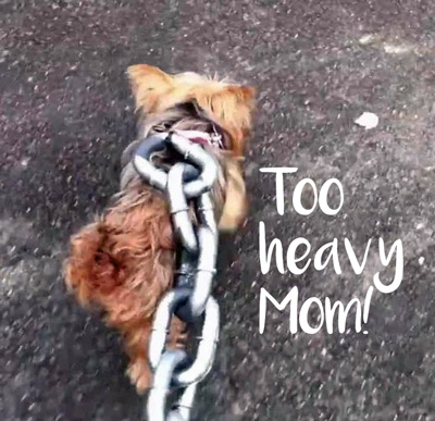 morkie on a ridiculously heavy chain