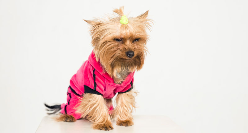 morkie puppy who might have hypoglycemia