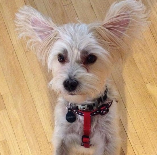 Morkie rescue dog, white